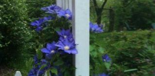 purple flowers along white fence