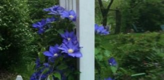 purple flowers along white fence